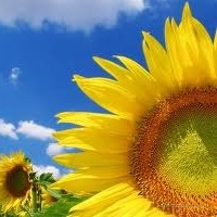 Sunflower seed market stabilized by national enterprises - Ukrainian Agribusiness Club